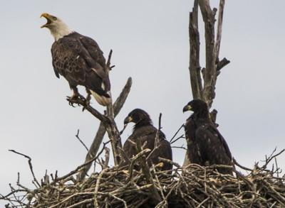 Bald eagle upgraded, 2 bee species marked as endangered