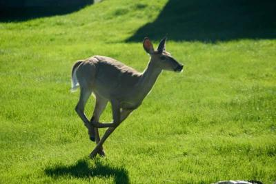 Sargent's view: With deer come tick-borne diseases