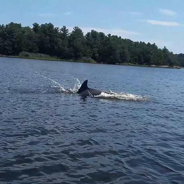 A rare sight Bottlenose dolphin makes home in Merrimack River