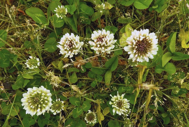 Buzzing over bee lawns: Save the pollinators (and time and money) with low-growing perennials