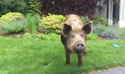Georgetown officer herds loose pig home to Rowley farm