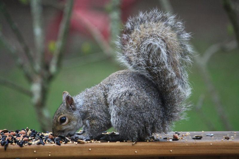 Squirrel strategies | Lifestyles | newburyportnews com