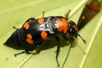 Imperiled beetle loses some protections