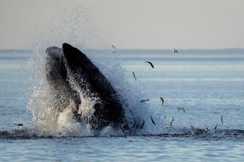 Humpbacks scoop up bait fish near Salisbury Beach, Plum Island
