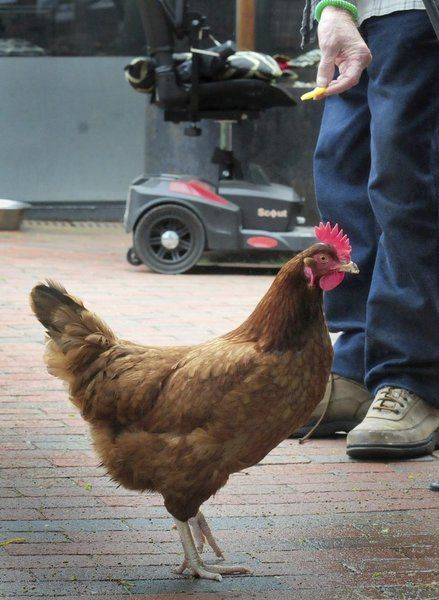 Port's wandering hen removed from The Tannery