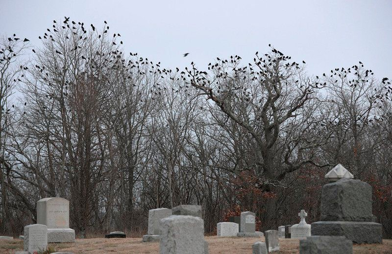 Something to crow about: Visit of 15,000 birds each winter fascinates researchers, enthusiasts