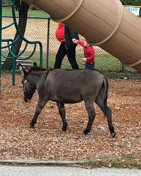 Mischievous goat, donkey go on the lam in Byfield