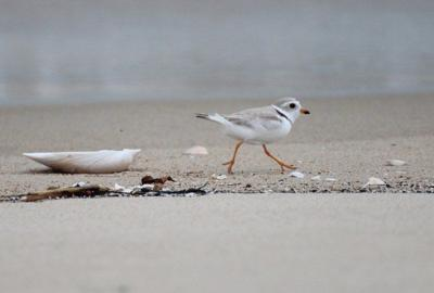 Piping plover population dips after 2019 high