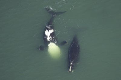 Study: North Atlantic right whales getting tinier