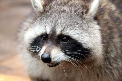 Raccoon tests positive in Raritan Township