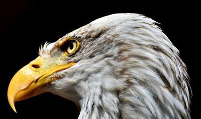 Naturalist Tom Sheppard talks about raptors on Thursday, Sept. 6