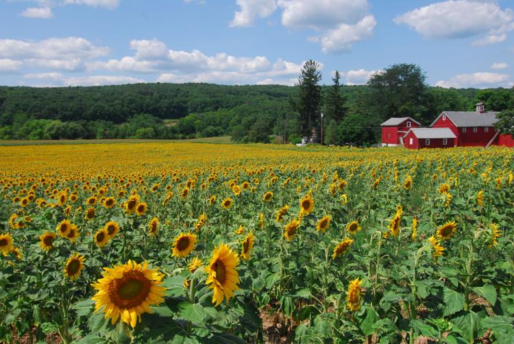 """Sussex County, NJ, Sunflowers"" by Larry Kerner"