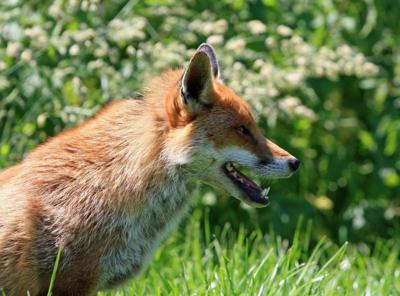 Adult fox tests positive for rabies in Hunterdon County
