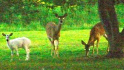 White Deer Spotted In Long Valley