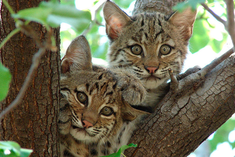Nature Conservancy, Cherrybrook Pet Supplies team up to help bobcats