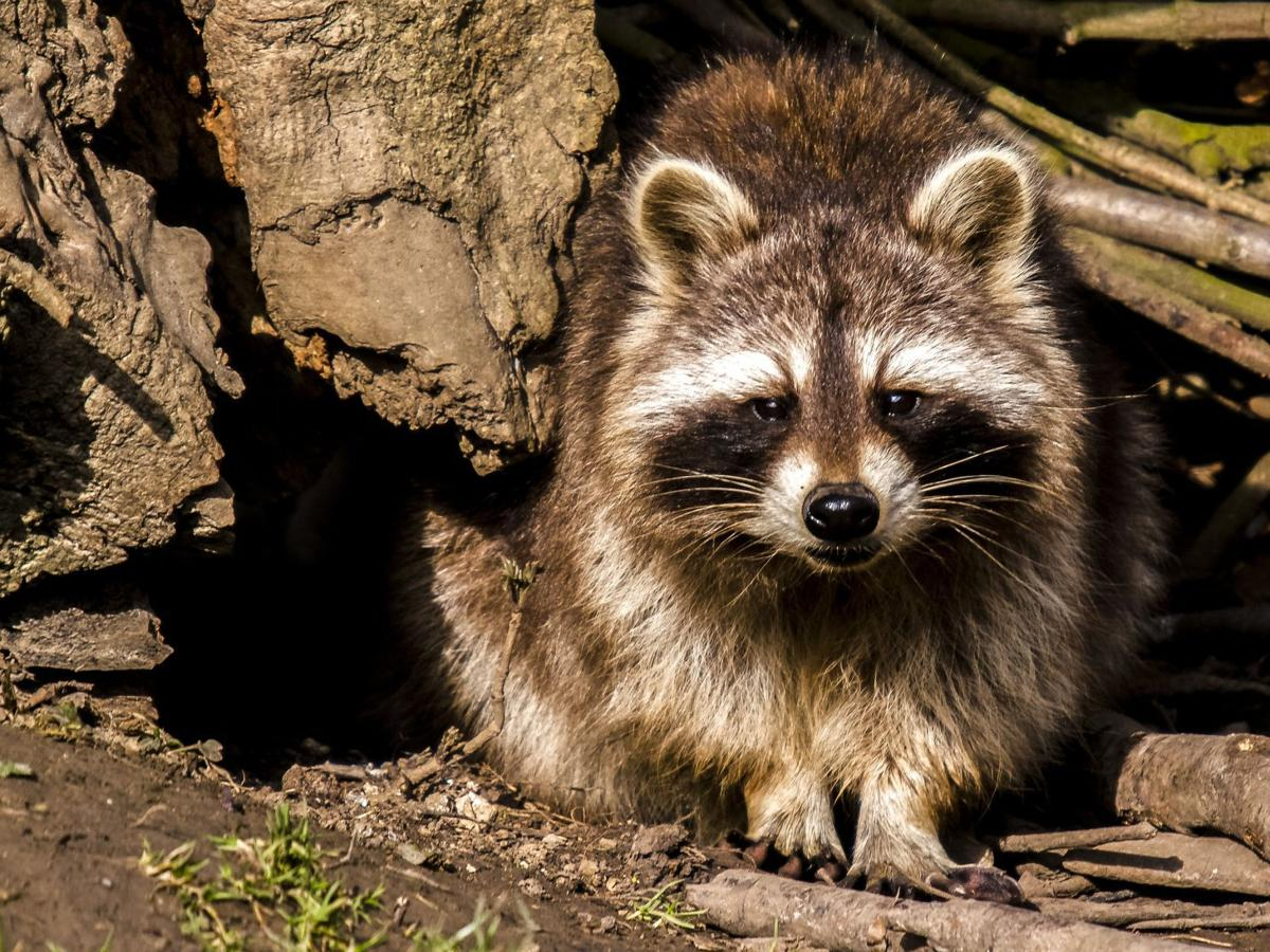 Two raccoons test positive for rabies in Hanover Township | Hanover ...