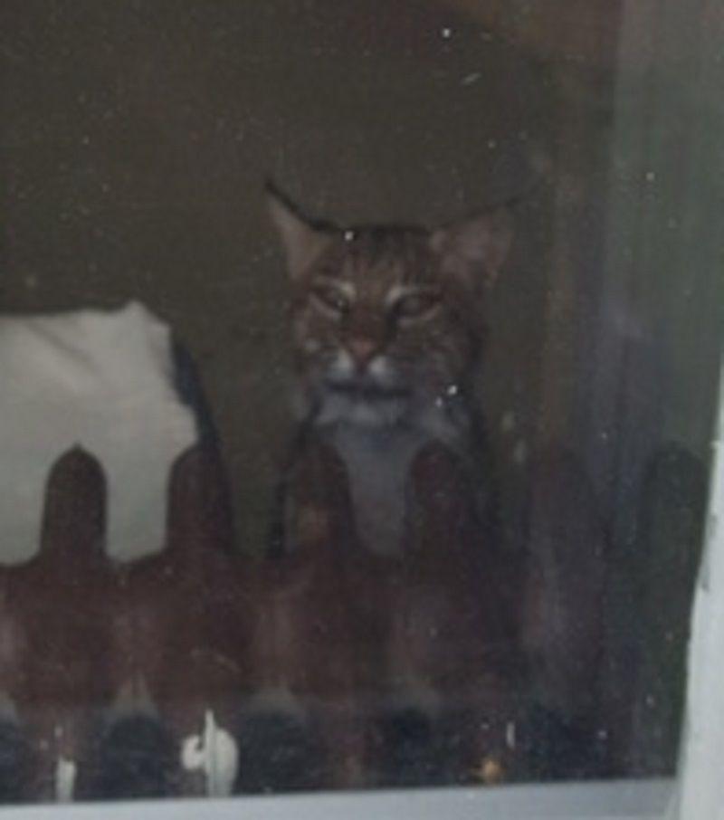 Endangered Cat