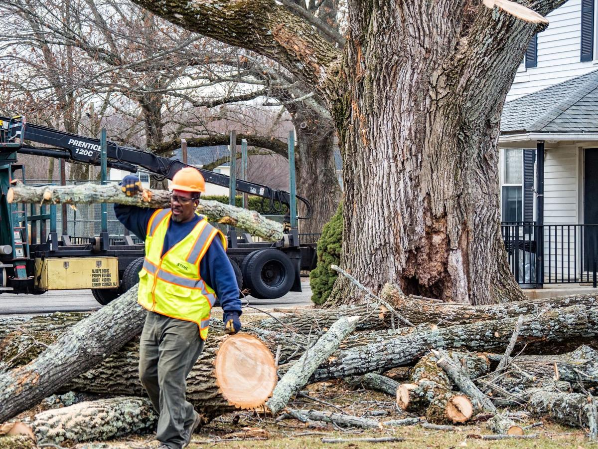Clinton's historic ash tree cut down after 120-plus years standing