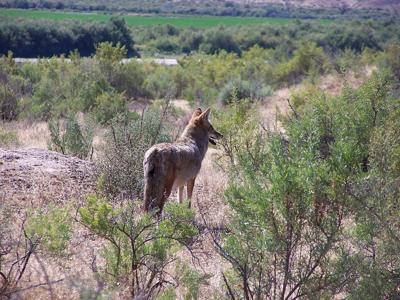 Coyote tests positive for rabies in Hunterdon County