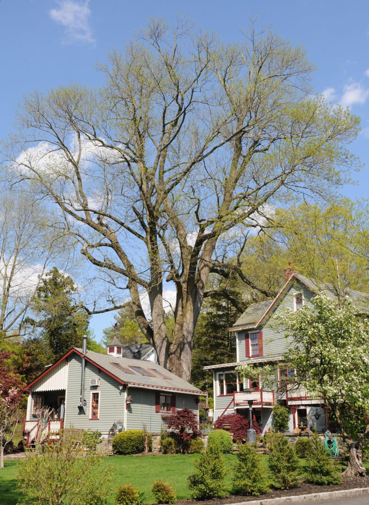 CHAMPION TREE GROWS IN MADISON
