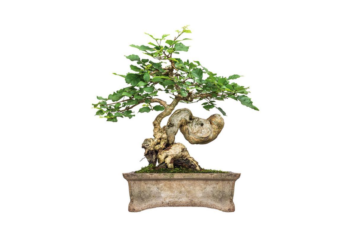 Bonsai Exhibit at Buck Garden