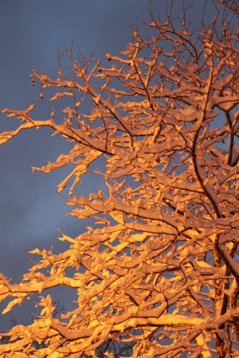 'Golden Snow'