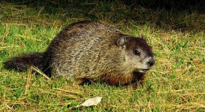 Groundhog tests positive for rabies; free rabies clinics available
