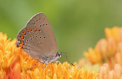 NJ Conservation Foundation to host butterfly walks in July, August