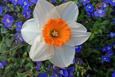 Garden Club of Hunterdon Hills to host daffodils talk on Wednesday, Oct. 24