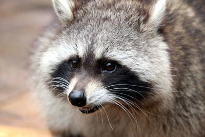 Raccoon tests positive for rabies on Thursday, Feb. 13