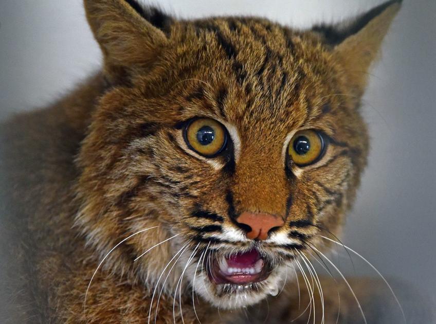 'Extremely rare' bobcat killed in Bernards Township