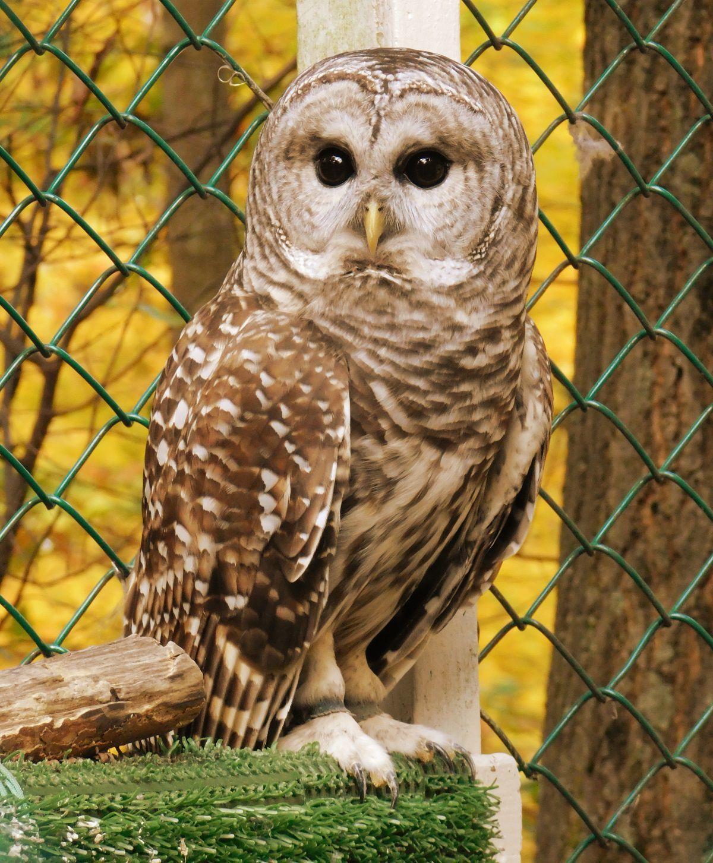 Murphy's owl