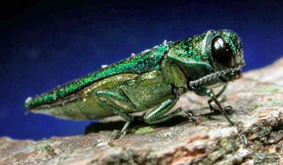 Expert says ash borer won't be leaving any too soon