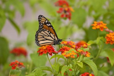 The Magical Mysterious Monarch Butterfly