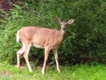 Watchung won't pursue referendum on deer hunt