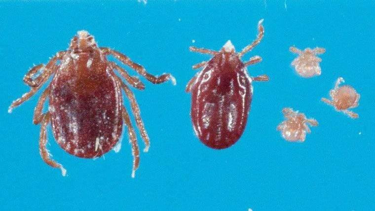Exotic East Asian Tick discovered on Hunterdon Farm