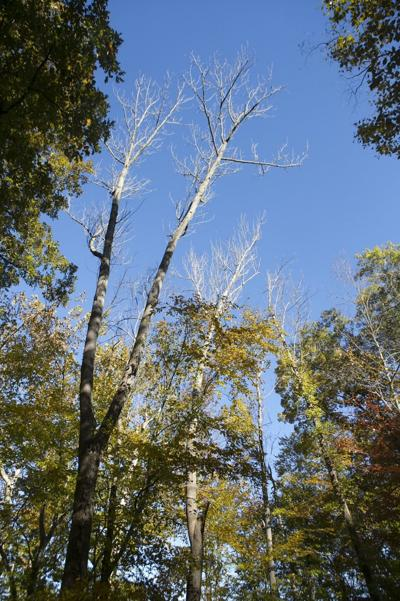 County to begin ash tree removal project in Long Hill