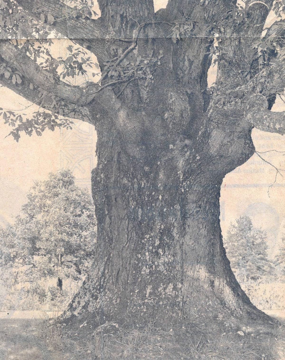 Centuries old oak tree witnessed all of Cocke County's history