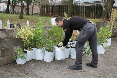 Lenoir City man jailed in major pot bust