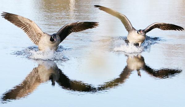 Amazing Waterfowl Seasons See Change
