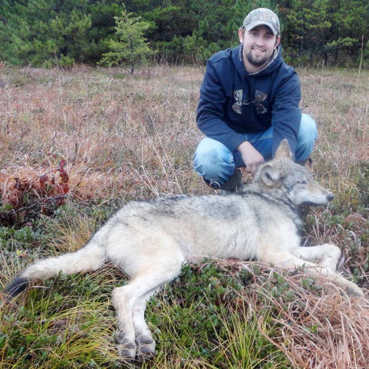 Zone 1 wolf