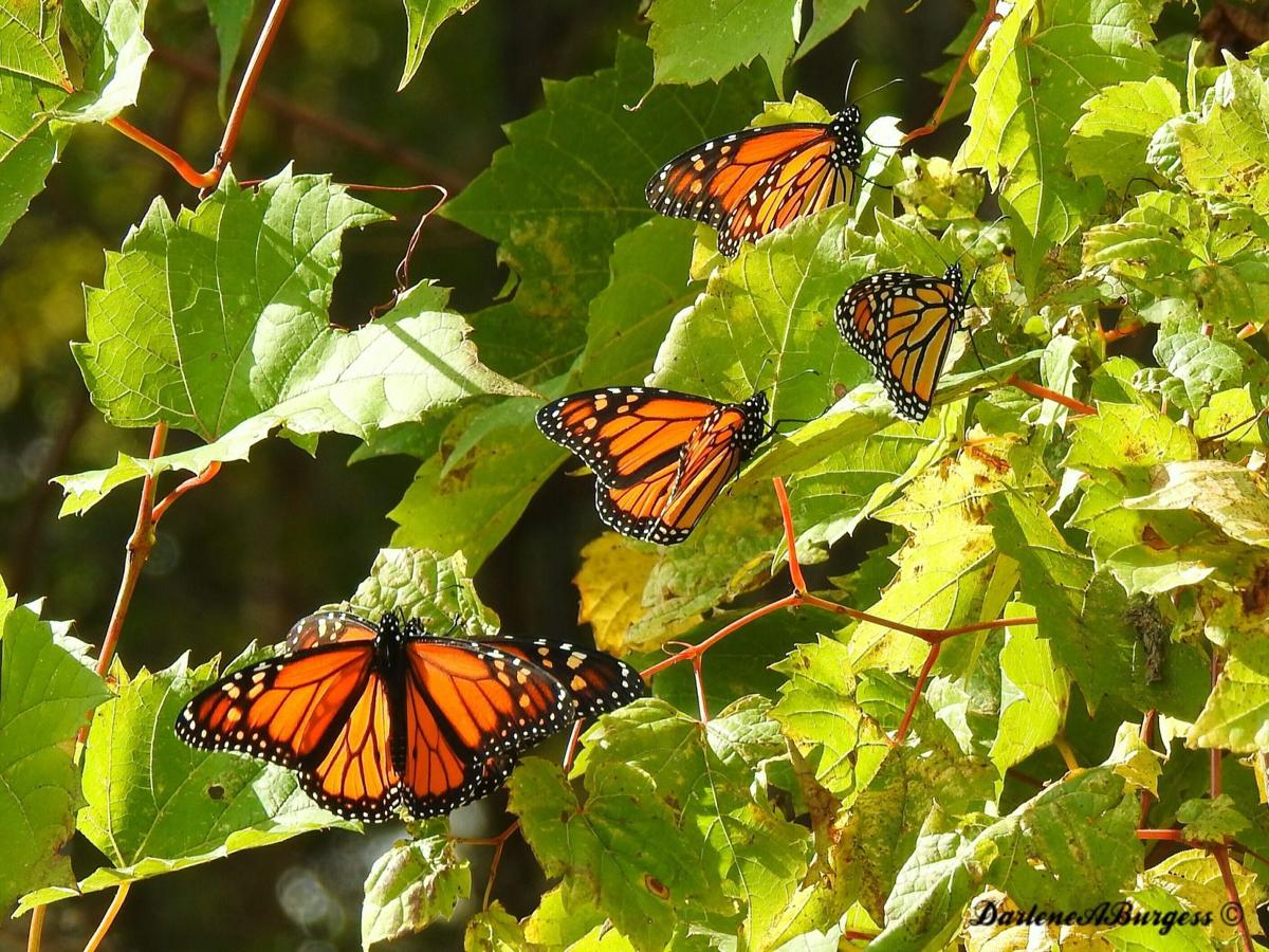 misplaced monarchs clusters of butterflies stuck up north logan
