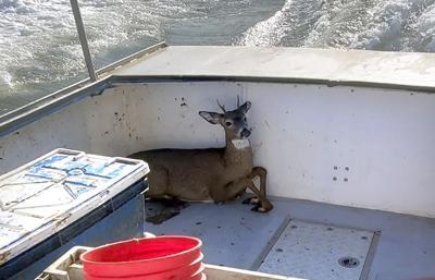 ODD Maine Lobstermen-Deer Rescue