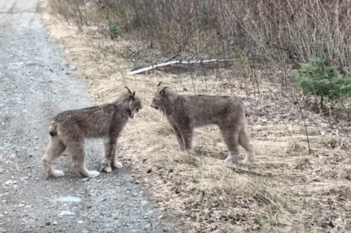 This Hilarious Video Shows Two Lynx Yelling At Each Other Like Humans