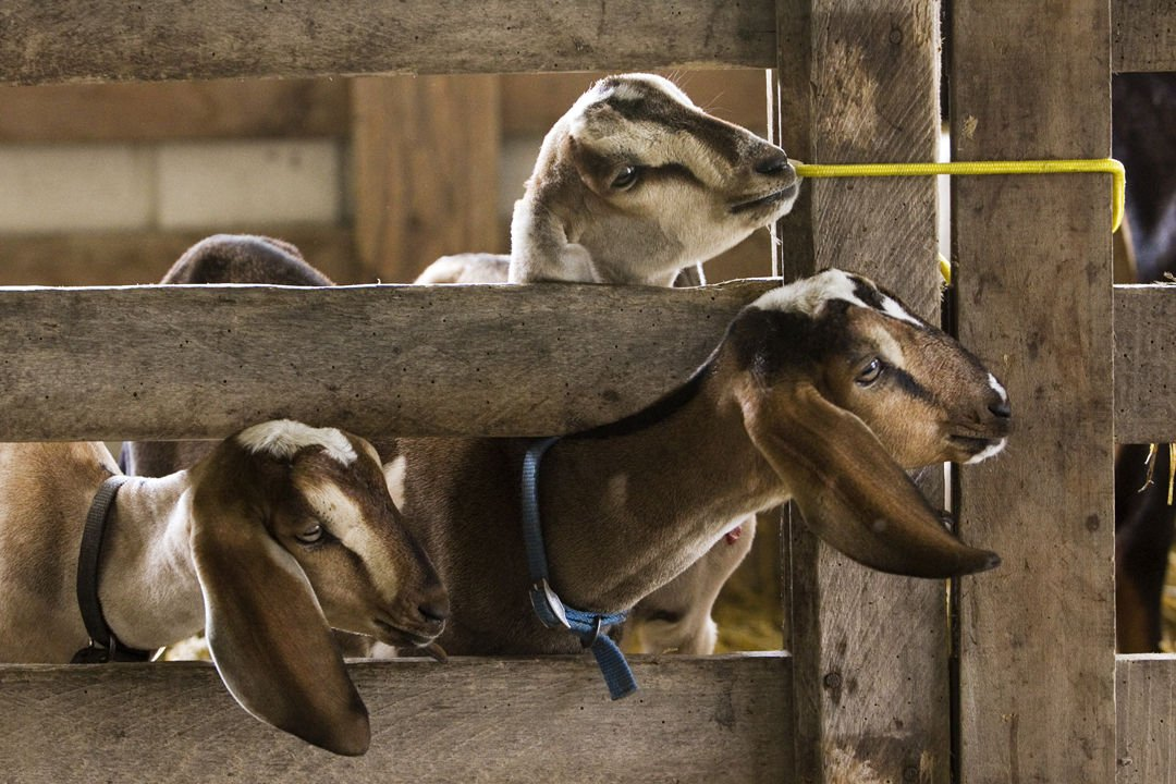 Nubian Goats Look Out Of Their Pen Inside The Goat Barn During Clark County 4 H Fair In Charlestown At Fairgrounds Wednesday Afternoon