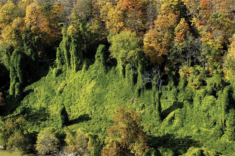 the kadzu plant as a threat to michigan The kudzu of the north   there's a plant in michigan that's getting a little crazy too it's not kudzu-crazy yet, but experts say we need to get a handle on it.