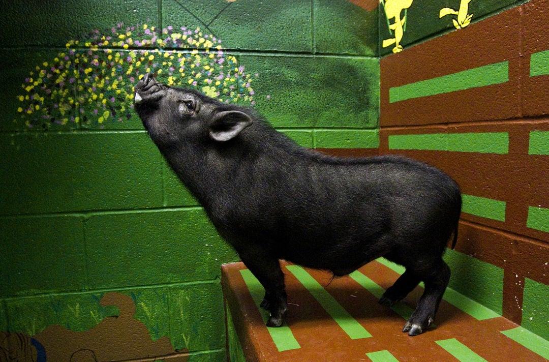Pig in a Poke 01