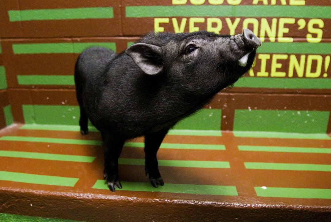 Pig in a Poke 02