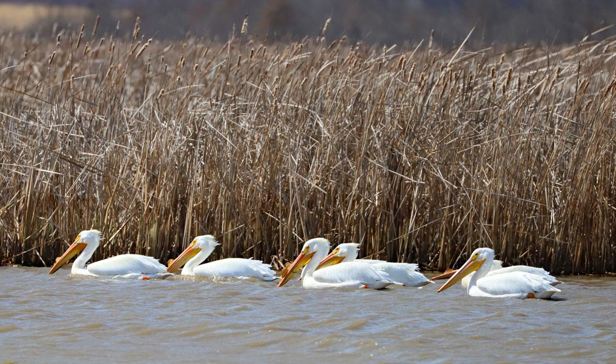 Pelicans at Goose Pond