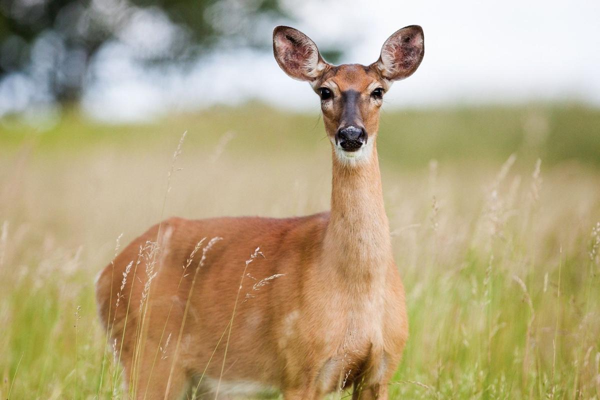 deer ear